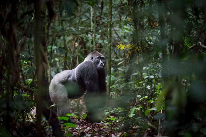 Male Western lowland gorilla in the Odzala-Kokoua National Park, Republic of Congo