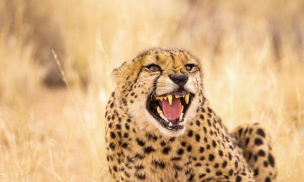What sound does a cheetah make? Roars or other noises?