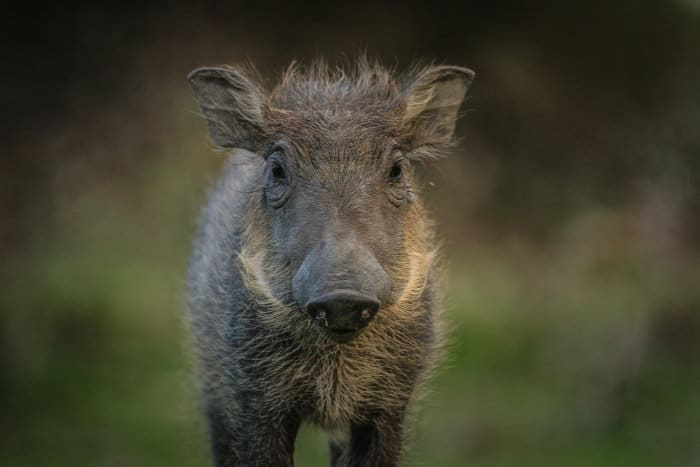 Cute baby warthog portrait in Liwonde National Park, Malawi