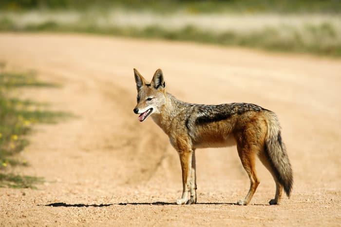 Black-backed jackal on dirt road, Addo Elephant National Park