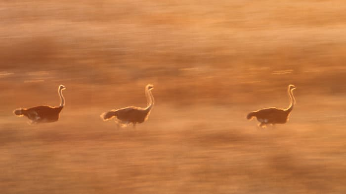 Blurred ostriches at sunset, in running motion