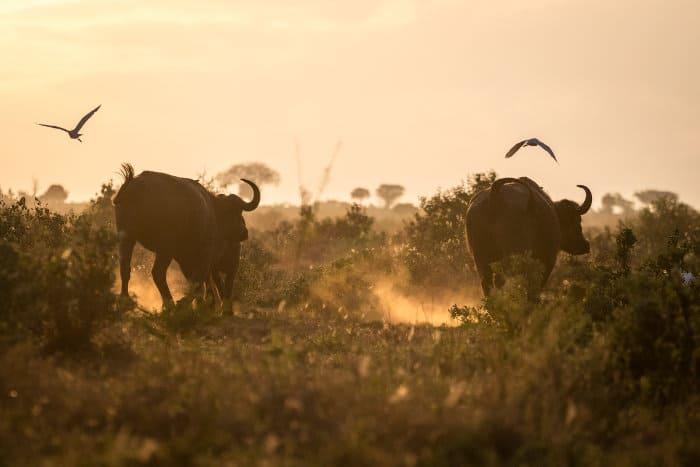 Buffaloes on an early morning, Tsavo West National Park, Kenya