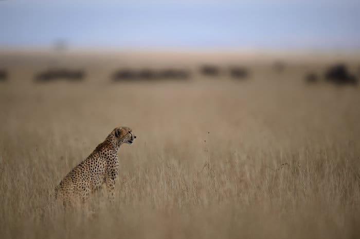 Lone cheetah on the lookout for prey, Masai Mara