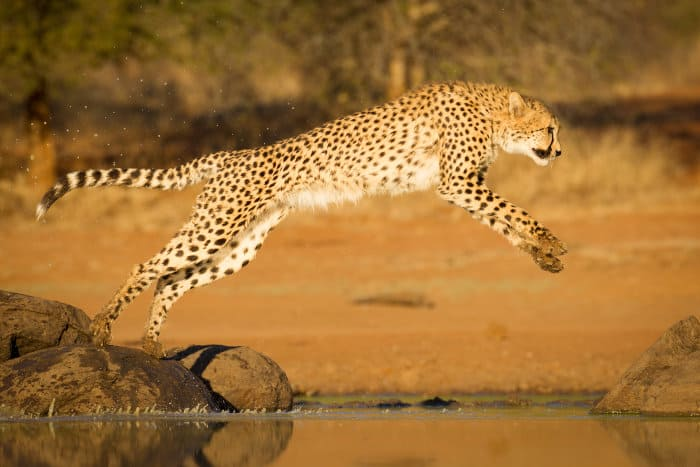 Cheetah leaping over body of water, Kruger park