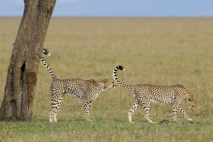 Two male cheetah scent marking their territory, Masai Mara, Kenya