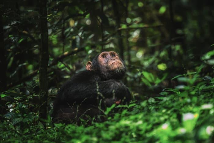 Chimpanzee looking up, Kibale National Park, Uganda