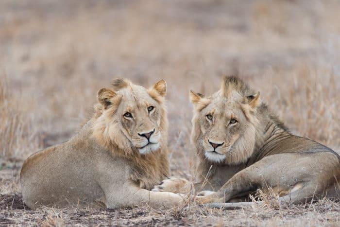 Coalition of lions, Kruger National Park