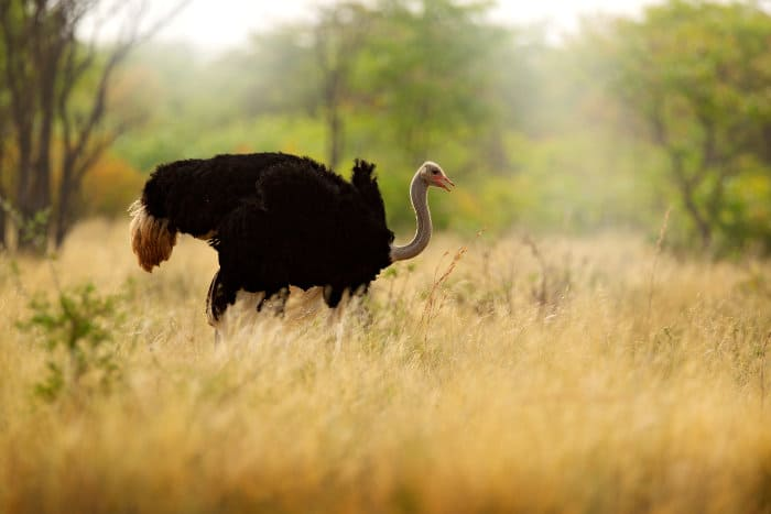 Male common ostrich in tall grass, Africa