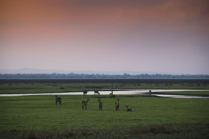 A herd of common waterbuck in Gorongosa National Park, Mozambique