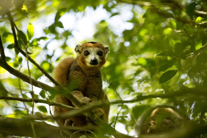 Male crowned lemur posing for the camera, Amber Mountain National Park, Madagascar