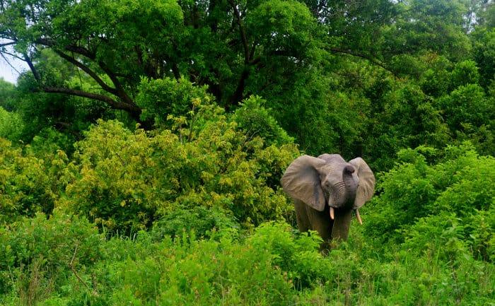 Lone elephant in warning mode, Mole National Park, Ghana