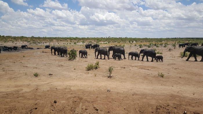 Big elephant herds congregate at a local waterhole, Khaudum National Park