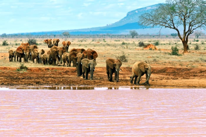 Herd of dust-red elephants arrive at the river in Tsavo East National Park