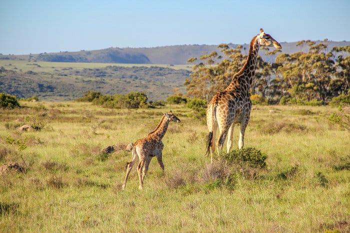 Mother giraffe and her baby in Shamwari, South Africa