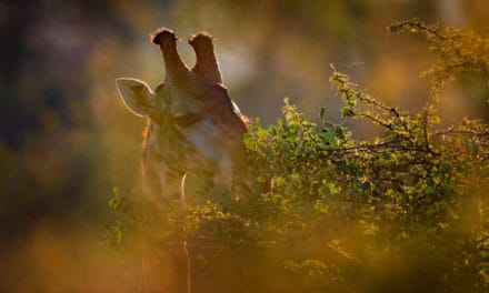 What are giraffe 'horns' called? Purpose, facts, & stories