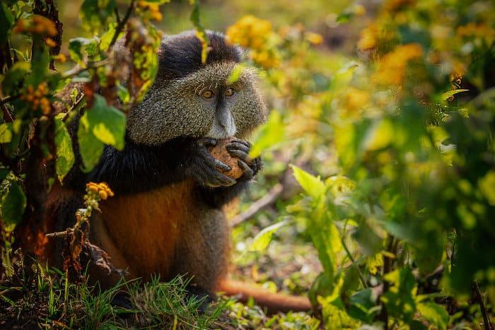 Golden monkey portrait, eating - Volcanoes National Park