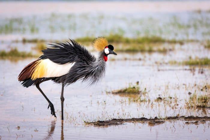 Grey crowned crane portrait, standing on one leg
