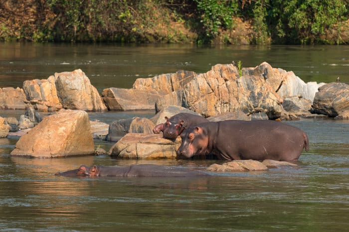 Hippos resting in the Shire river, Majete Wildlife Reserve, Malawi