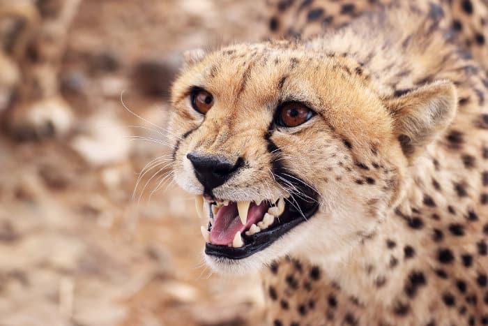 Male cheetah hissing