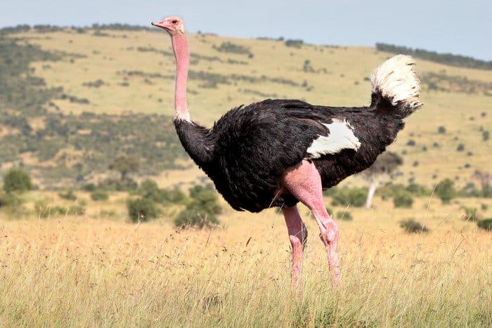 Very large male ostrich portrait, on the Masai Mara plains