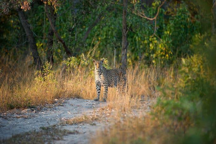 Leopard staring into the camera, Elephant Plains, Sabi Sands
