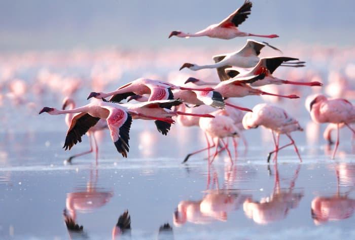 Lesser flamingos in flight, Lake Nakuru, Kenya