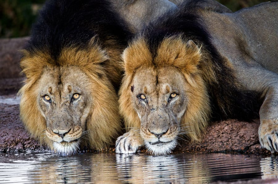 What is a lion coalition?