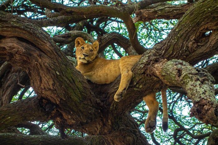 Lion cub resting in a tree, Lake Manyara
