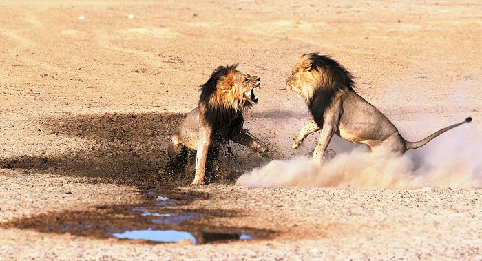 Two male lions fighting for mating rights, Kgalagadi