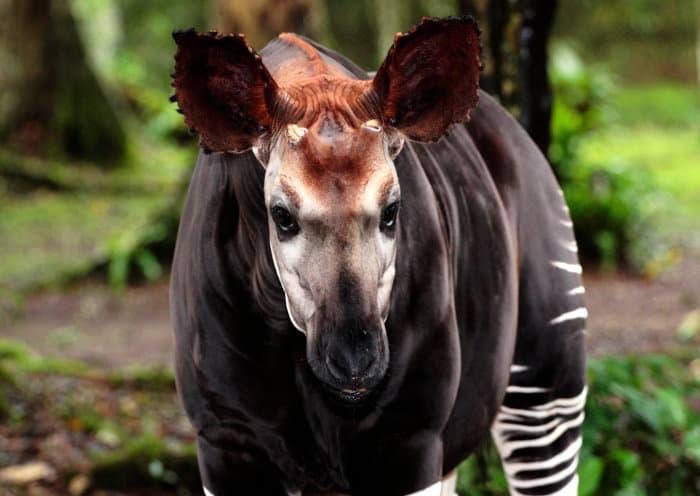 Okapi portrait, featuring its short ossicones