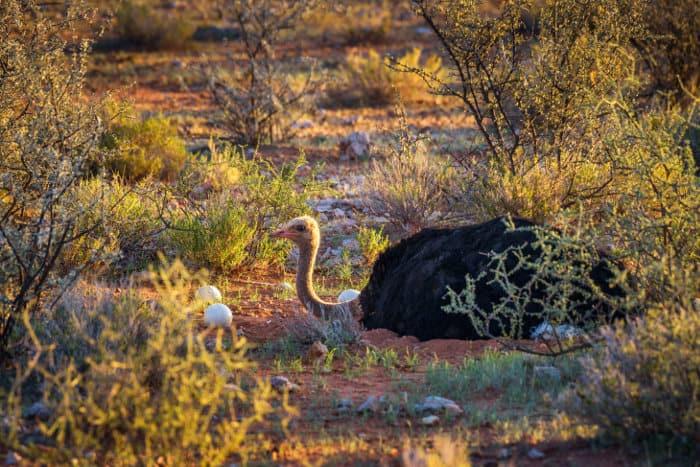 Male common ostrich guarding its eggs, Kalahari desert
