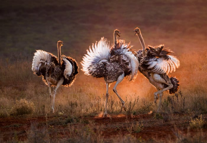 Young ostrich siblings having an argument in late afternoon sunlight