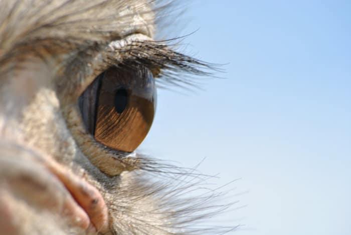 Closeup shot of a common ostrich eye