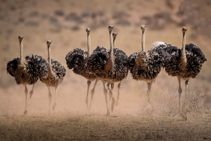 Ostrich hens running away from males during the mating season, Kgalagadi