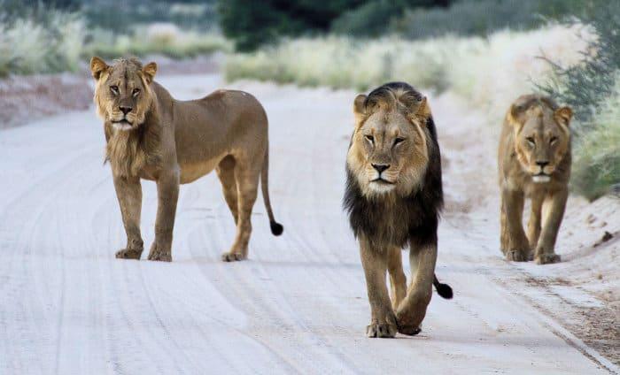 Three male lions walking down a sandy road