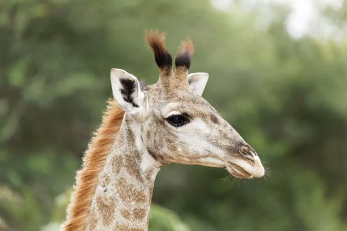 Funny tufted horns on a young giraffe