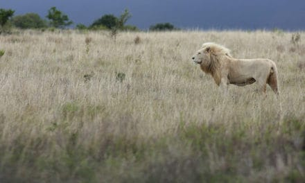 White lions of Timbavati facts: a symbol of pride & leadership