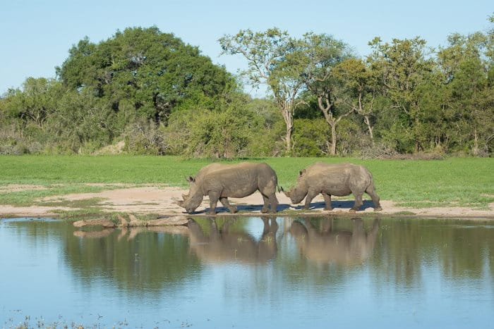 Two white rhinos next to a waterhole in Mala Mala, South Africa