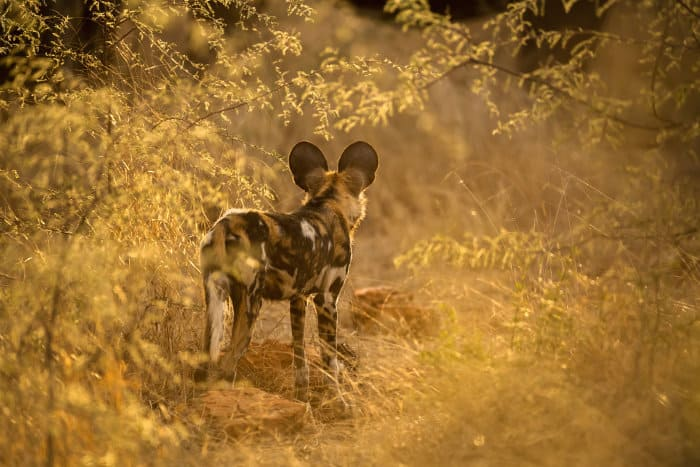 Lone wild dog in golden light, staring into the bush