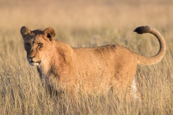 Young lion in the Khutse Game Reserve, Botswana