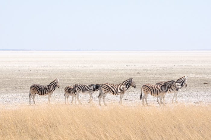 Zebra at the Etosha Pan