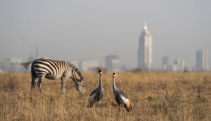 Zebra and crowned cranes in Nairobi National Park, with the city skyline as a backdrop
