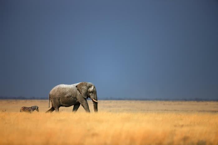 Lone zebra and elephant walking behind each other on the open plains, Etosha