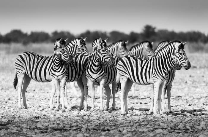 Zebra herd all looking in the same direction, reacting to a noise