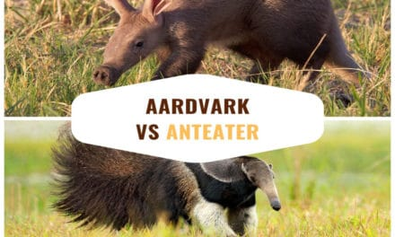 Aardvark vs anteater: difference between them & how they're the same
