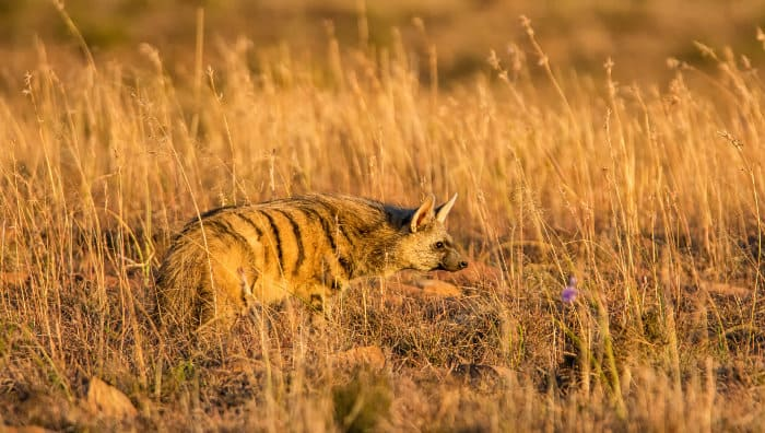 Aardwolf at dusk, looking for insects