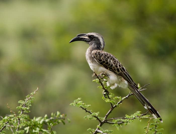 African grey hornbill in its natural habitat