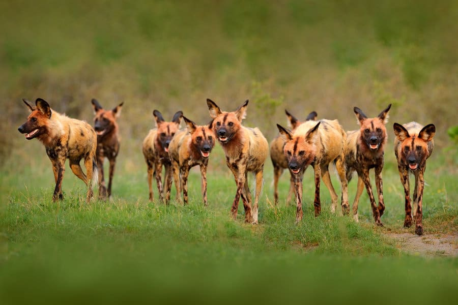 Are there any African wild dog predators?