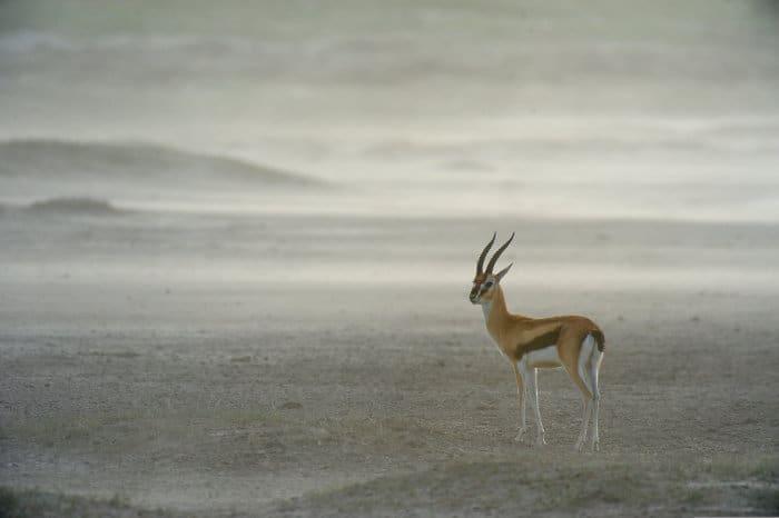 Thomson's gazelle's scientific name is Eudorcas thomsonii