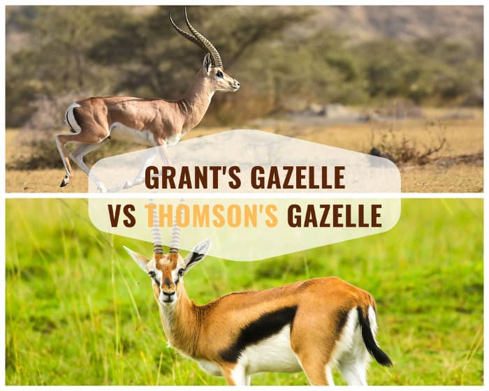 Major physical differences between a Grant's gazelle and a Thomson's gazelle